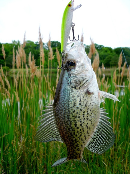 Kent island pond fishing may 14 freshwater report for Freshwater pond fish
